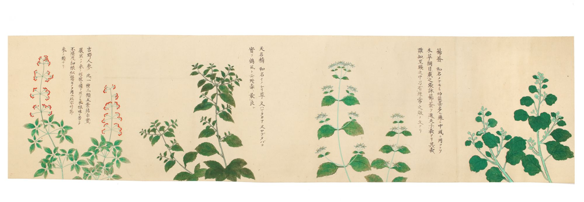 A finely executed and long scroll depicting numerous medicinal plants,  rendered in brush & ink and delicate washes of many colors by MEDICINAL  PLANTS