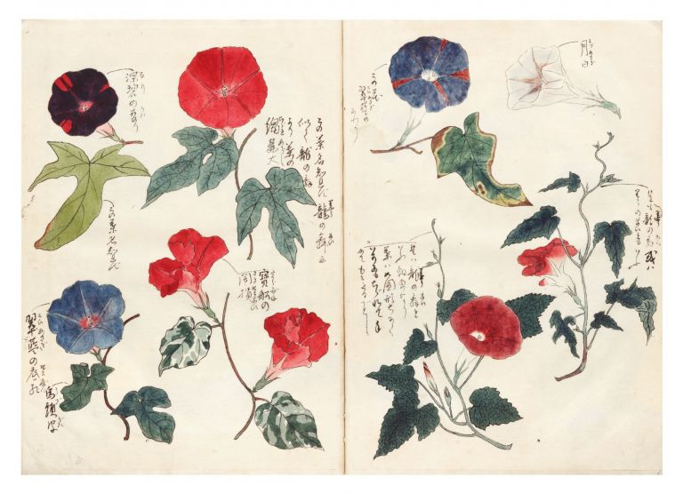 Finely illustrated sketchbook album, a collection of hundreds of highly detailed & beautifully painted brush and color wash drawings of morning glories. MORNING GLORIES ALBUM.