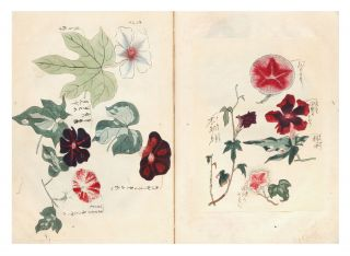 Finely illustrated sketchbook album, a collection of hundreds of highly detailed & beautifully painted brush and color wash drawings of morning glories.