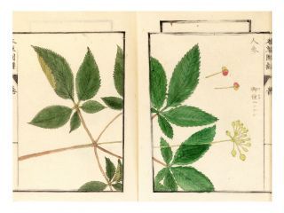"""Two manuscript volumes of the Honzo zufu [Illustrated Herbal]: Part 5 (""""Sanso no rui"""" or """"Species of Mountain Plants"""") & a large section of Part 34 (""""Mizukusa"""" or """"Water Plants"""")."""